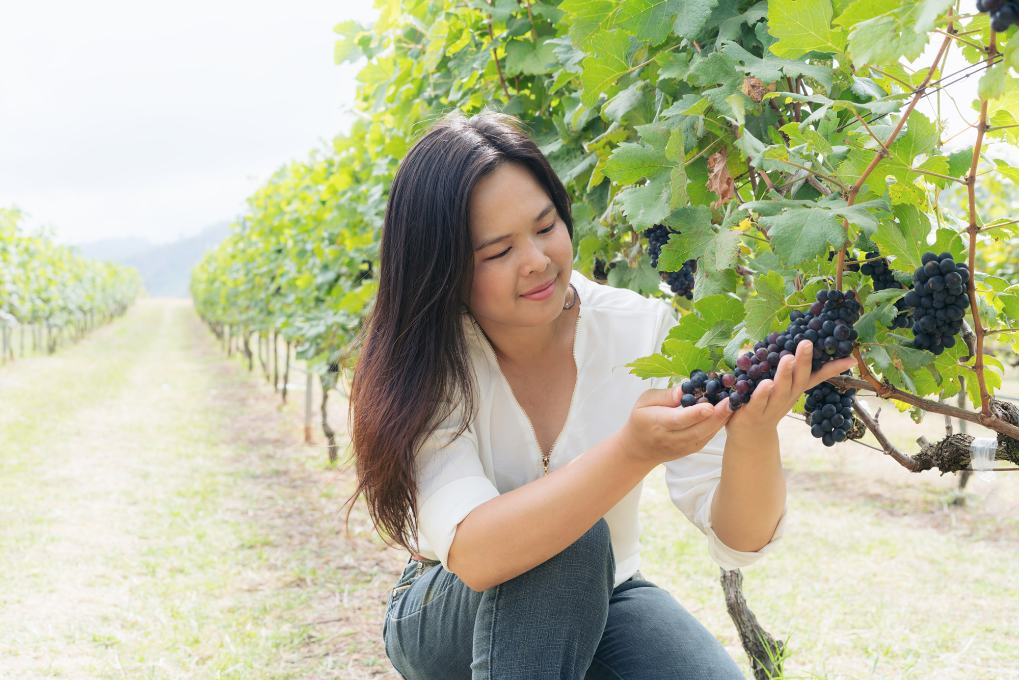 Vineyard woman worker checking wine grapes in vineyard. Winery, winemaker and worker concept. Sunny day in vineyard.